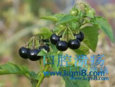 野葡萄龙葵清热解毒,活血消肿治疗口腔溃疡的好水果