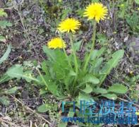 蒲公英,消胃炎,排肝毒,改善口腔溃疡,小植物,大作用!