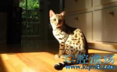 猫咪口腔溃疡的症状表现及其治疗方法!